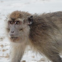 Monkey in Weston Westland