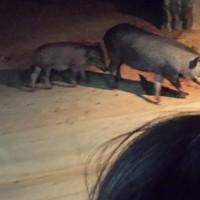 Chiang Mai Pigs
