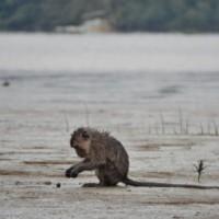 Weston Wetland Monkey